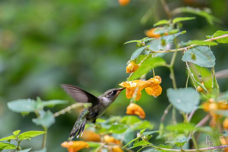DSC_1411 hummingbird