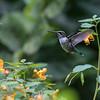 DSC_6711 hummingbird