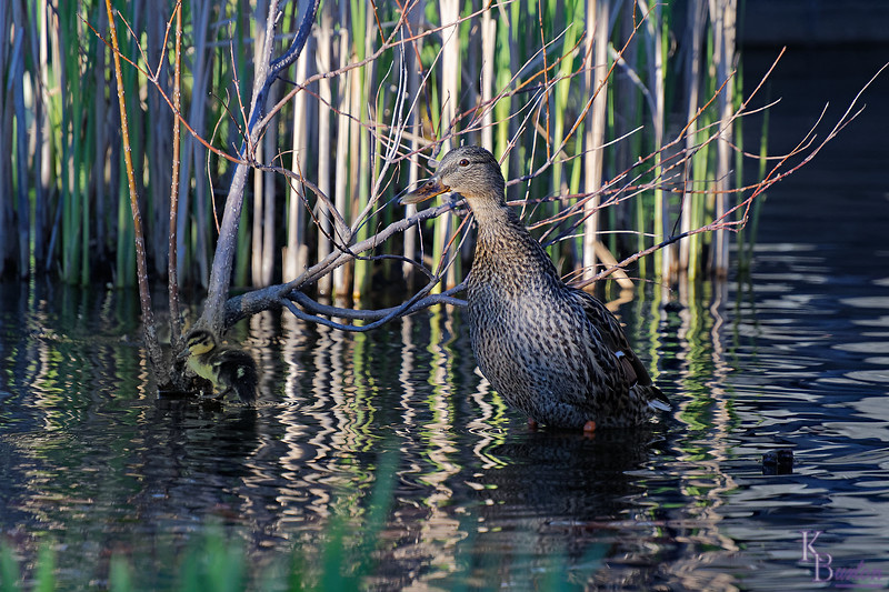 DSC_9744 the ducks of BPC_DxO