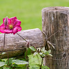 DSC_5609 flower on a fence post