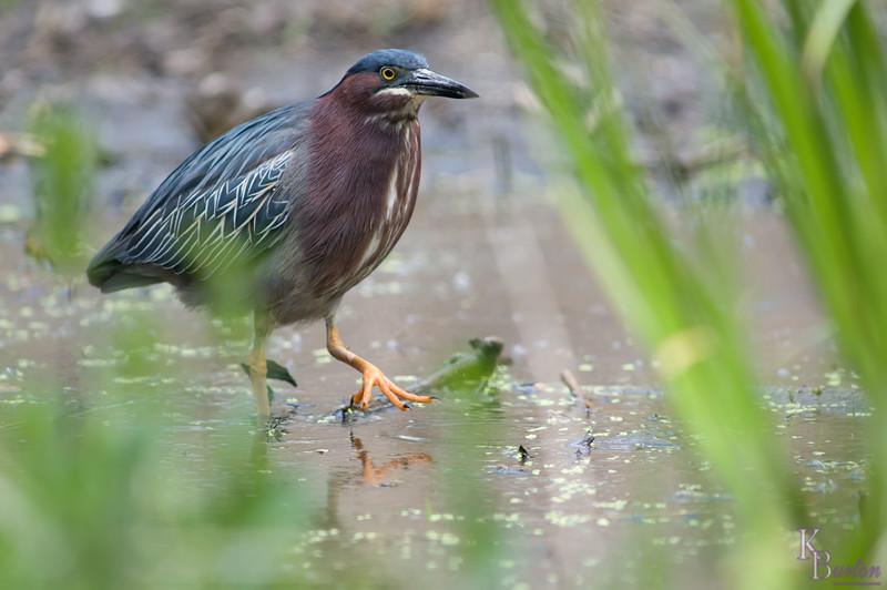 DSC_2767 green heron