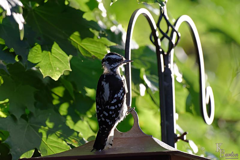 DSC_9126 downy woodpecker_DxO