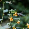 DSC_6725 hummingbird