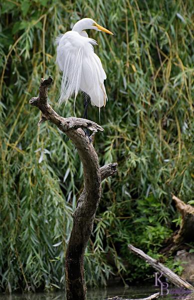 DSC_8293 great white egret_DxO