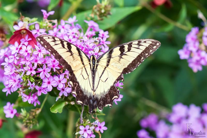 dsc_4584 Tiger swollowtail butterfly