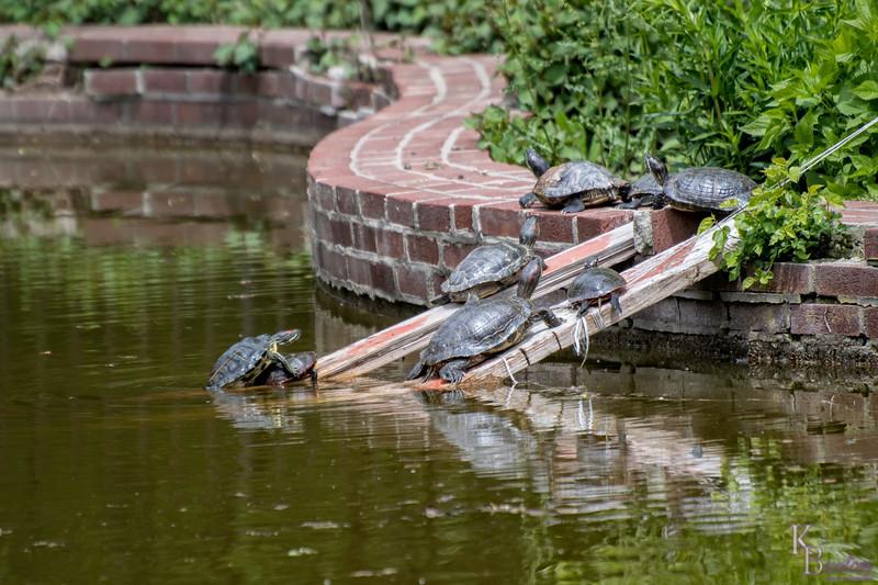 DSC_6697 the turtles of snug harbor