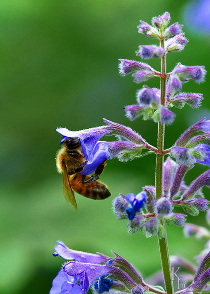 dsc_ 5139 honeybee feeding nef