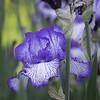 DSC_5562 purple Iris_DxO