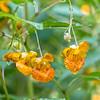 DSC_5232 jewel weed