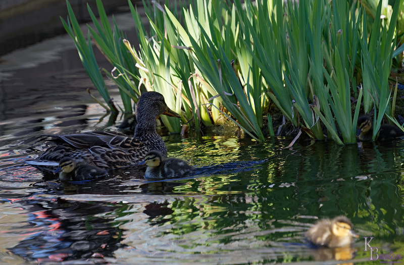 DSC_9448 the ducks of BPC