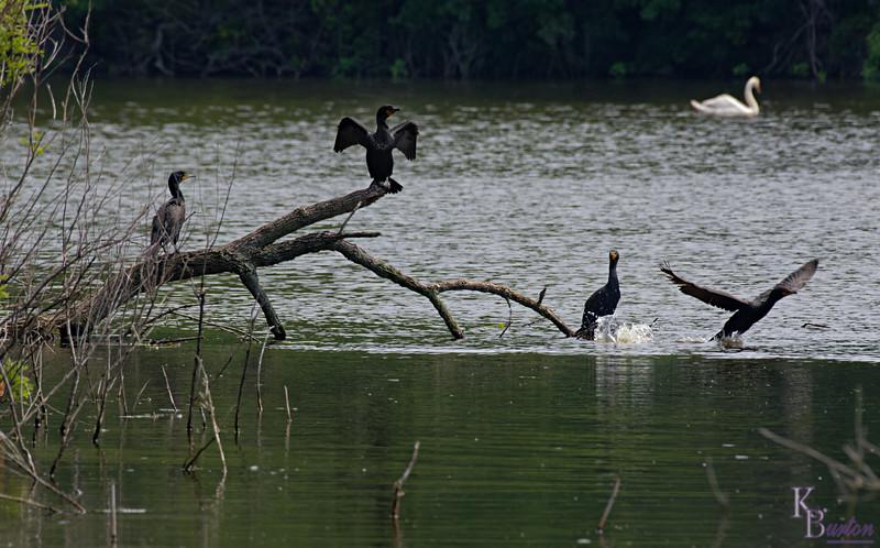 DSC_3920 cormorants