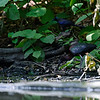 DSC_0065 scarlet ibis_DxO