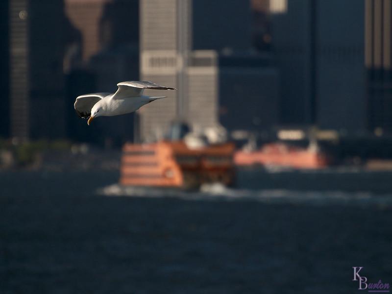 DSC_7447 gull gliding on the breeze