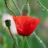 DSC_2201 poppy