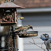 DSC_6616 backyard bird feeders