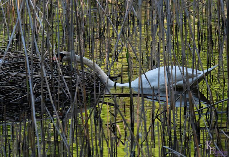DSC_6512 swan's nest