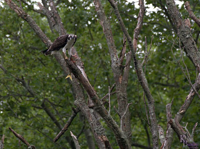 DSC_2368 osprey feeding-TSt