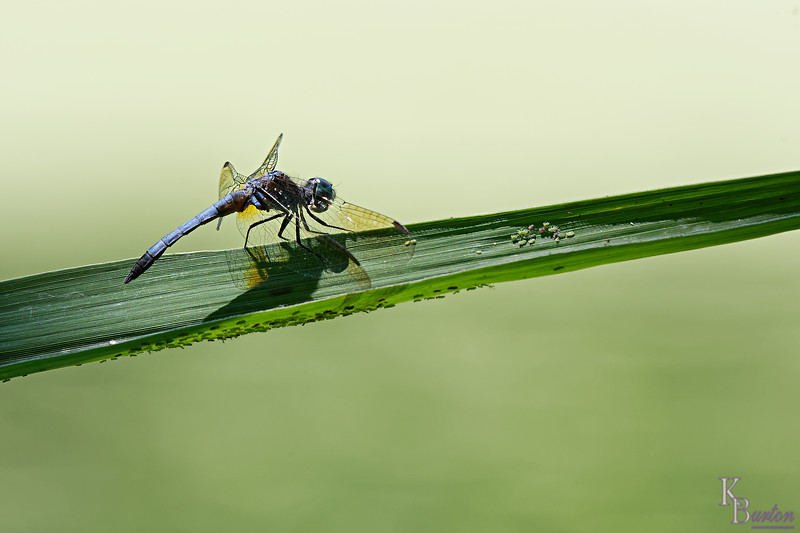 DSC_7121 dragonfly_DxO