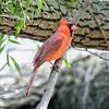 DSC_0890 cardinal