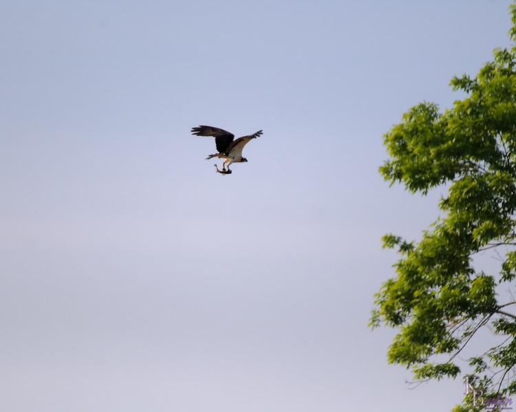DSC_0174 osprey's on the hunt_DxO