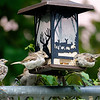 DSC_6246 backyard visitors