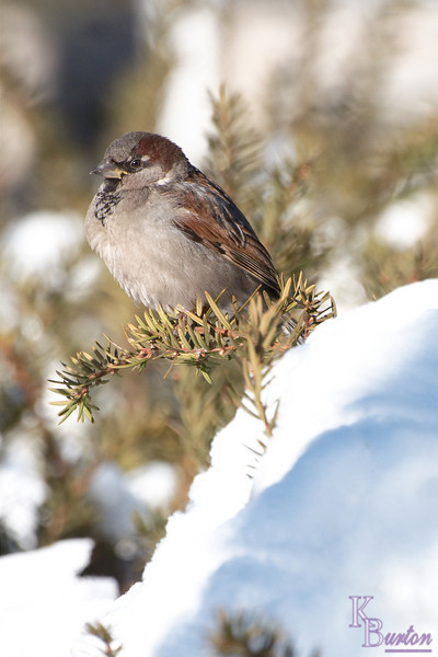 DSC_9872 sparrow pearching on a pine branch
