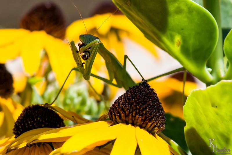 DSC_3040 praying mantis