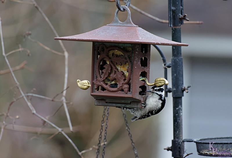 DSC_2299 downey woodpecker_DxO