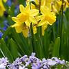 DSC_8316 daffodils_DxO