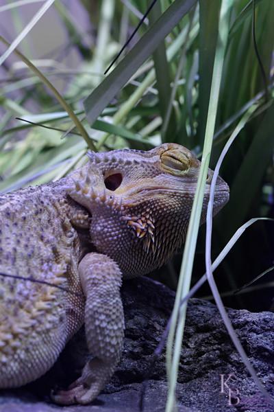 DSC_0655 inland bearded dragon_DxO