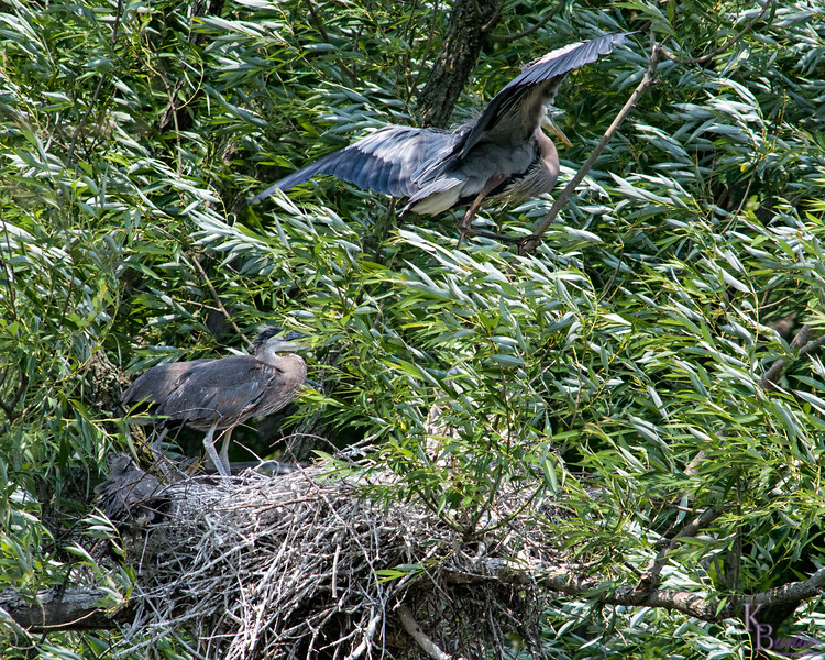 DSC_9150  Heron's nest