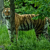 DSC_8321 Asian Tiger