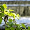 DSC_4857 yellow rumped warbler