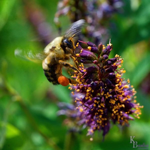 DSC_1503 bumble bee_DxO