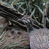 DSC_3465 Tinamou