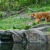 The Tiger habitat at the Bronx Zoo is a great spot to get photographs from. Encased in glass there's plenty of viewing spots to stand, if it isn't too crowded, which on this late weekday afternoon, it  wasn't.