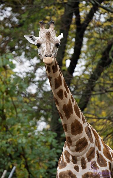 DSC_0991 giraffe_DxO