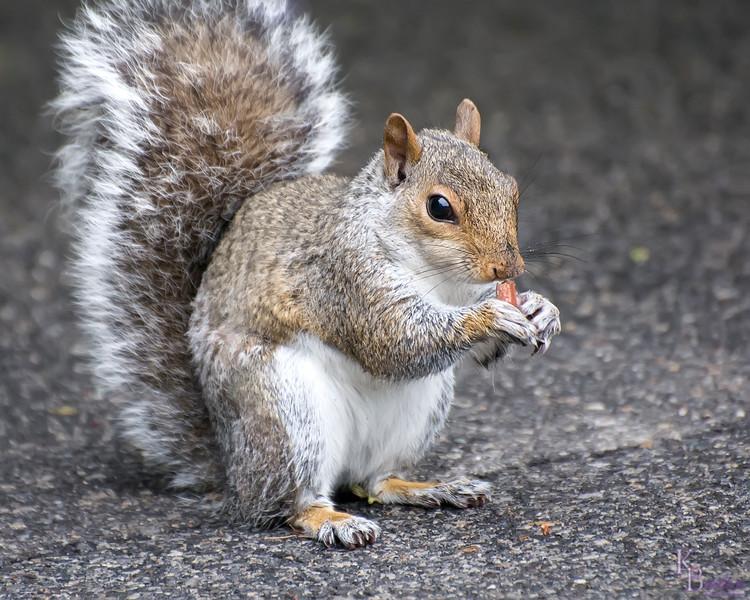 DSC_4406 Squirrel