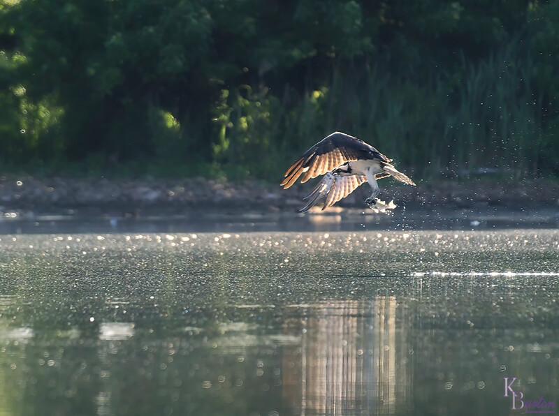 DSC_0280 osprey's on the hunt_DxO (TS))(G)