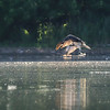 DSC_0280 osprey's on the hunt_DxO (TS))(G)