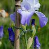 DSC_8926 purple iris