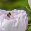 DSC_6657 honey bee