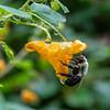 DSC_0353 bumble bee in the rain