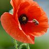 DSC_2427 foraging for nectar