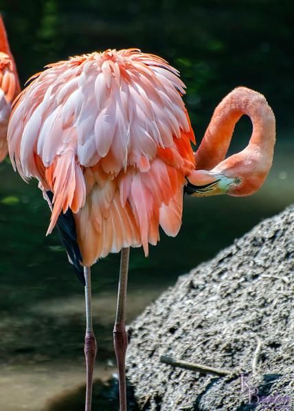 DSC_6954 Flamingo