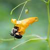 DSC_8755 bumblebee foraging