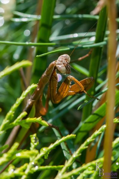 DSC_0512 praying mantis