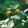 DSC_8723 the hummingbirds of Clove Lakes_DxO