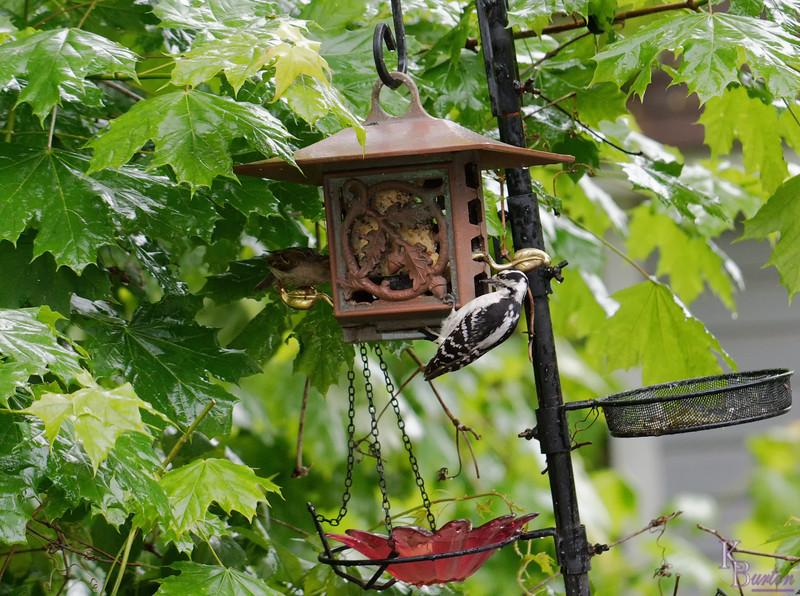 DSC_5121 female downey woodpecker_DxO