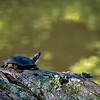DSC_1745 red earred slider